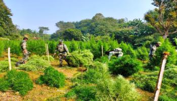 Tripura: BJP MLA seeks legalising ganja cultivation, CM assures to examine