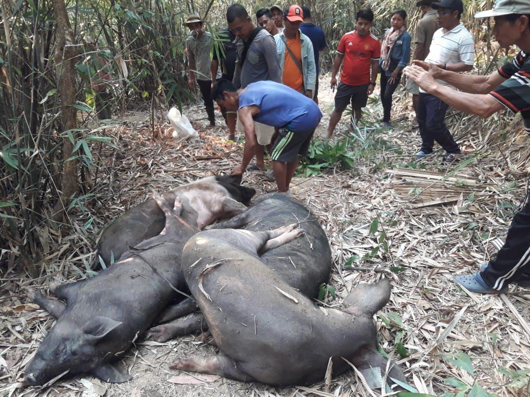 African swine fever outbreak in Nagaland