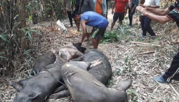 African swine fever outbreak in Nagaland