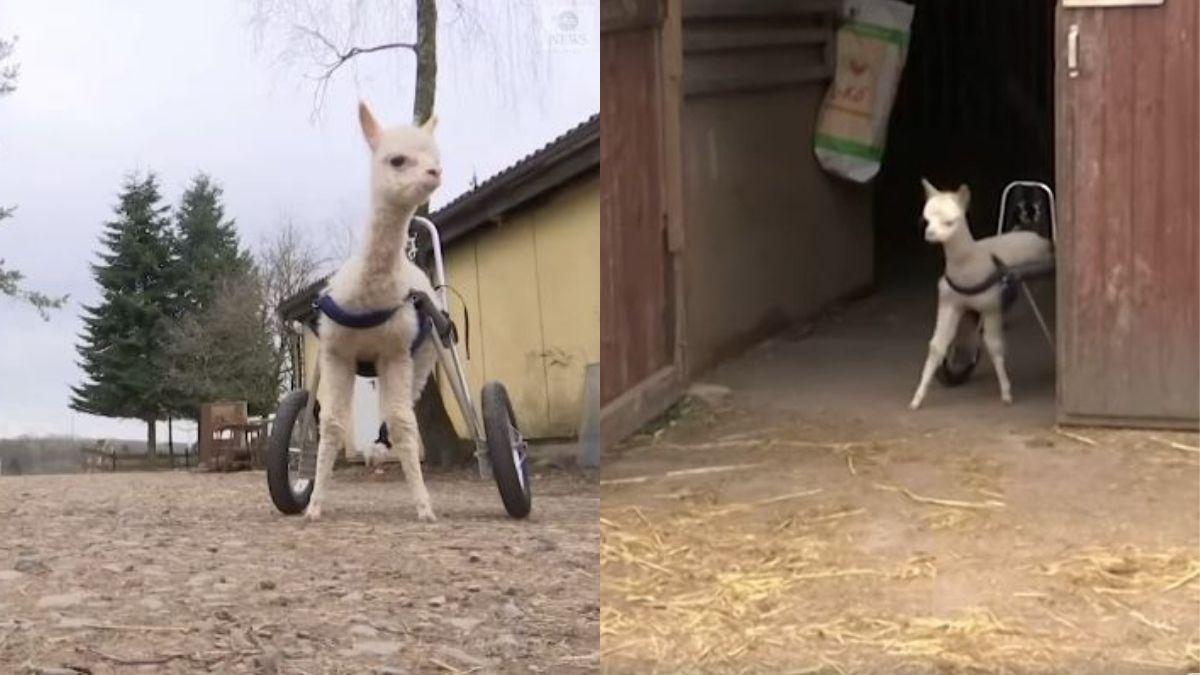 marie baby alpaca