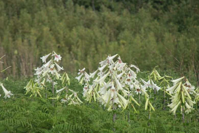 Manipur village enthralls with giant Himalayan lilies