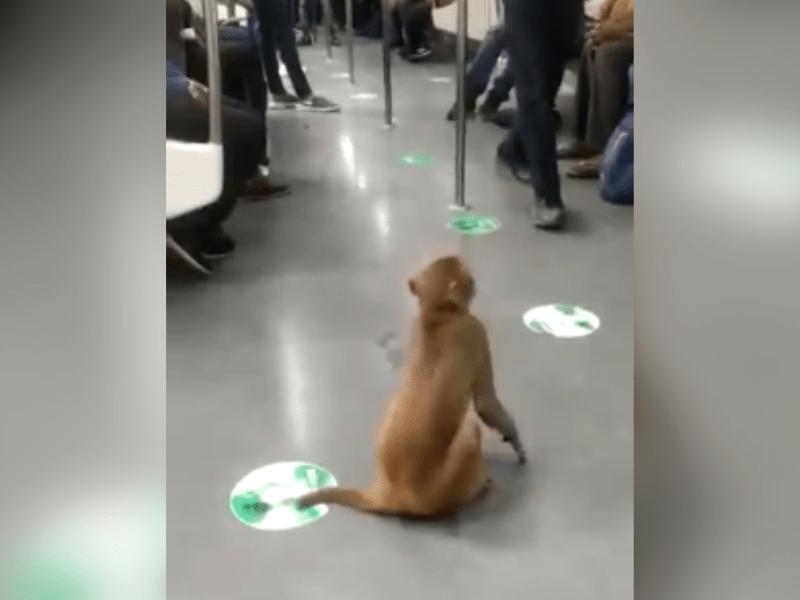 Watch: Monkey takes 'ride' in Delhi Metro train, video goes viral