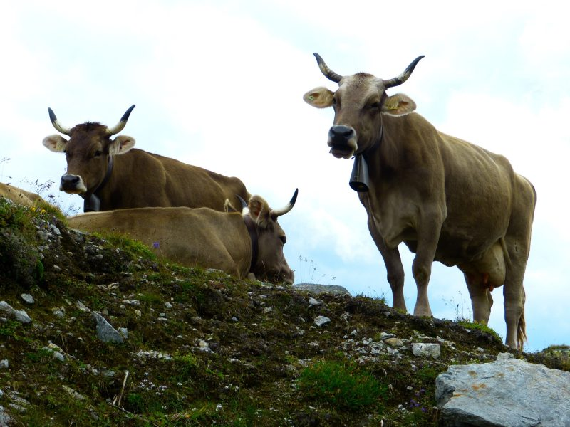 Assam: Cops foil cattle smuggling bid, fires in air in self-defence