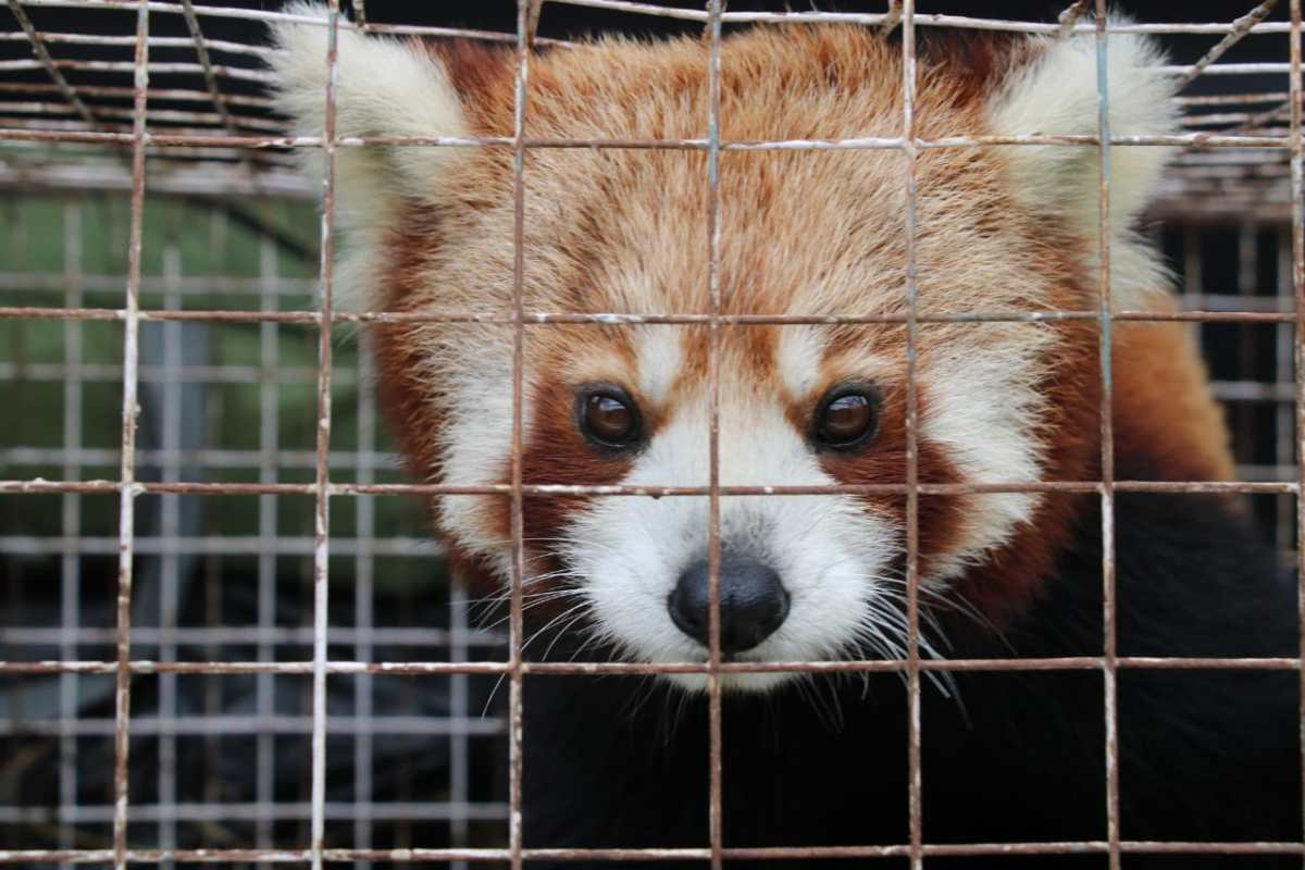 Red Panda Arunachal