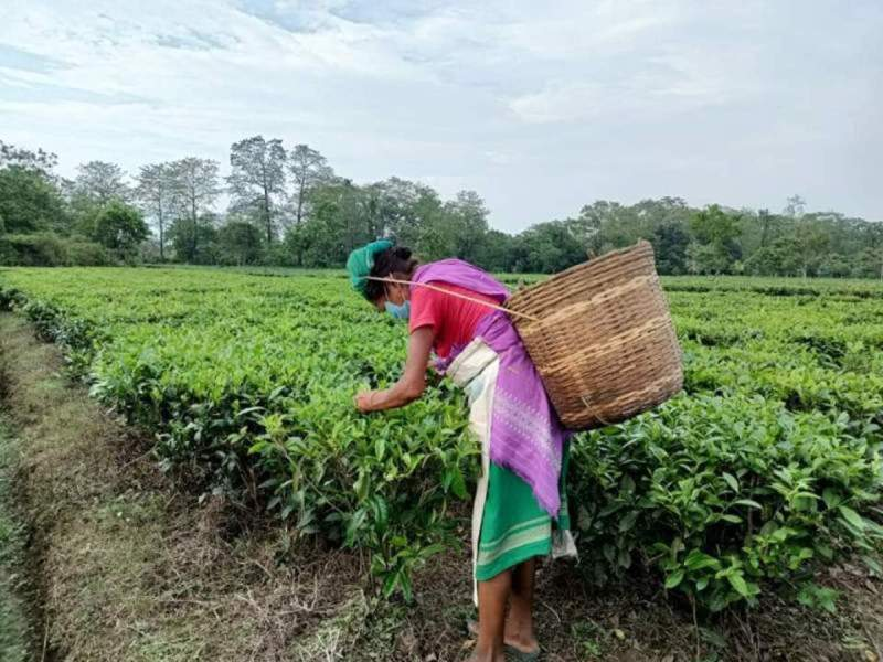 Assam's small tea growers demand MSP for green leaves