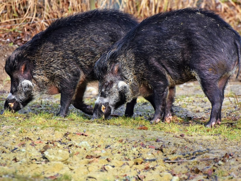 'Most damaging species': Wild pigs release same emissions as 1M cars a year