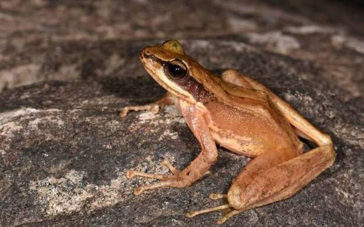 New frog species discovered in Adi hills of Arunachal Pradesh