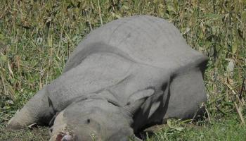 Assam forest dept employee held for smuggling rhino horns