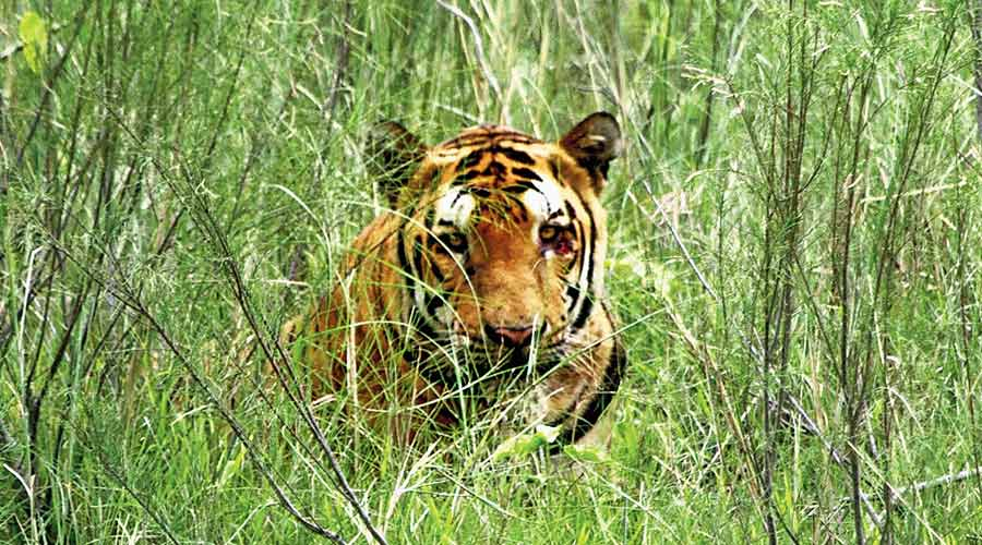 In a first, Bengal to count big herbivores during tiger census