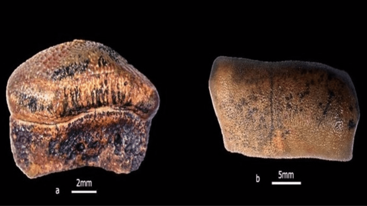 New species of Jurassic-age Hybodont Shark discovered from Rajasthan's Jaisalmer