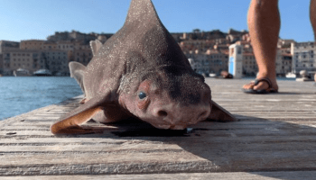 Pig shark