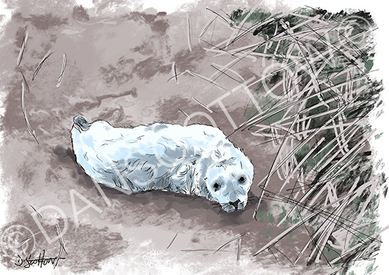 Seal pup, Kingsbarns