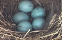 Flint financial advisor also helps bluebirds feather their nests
