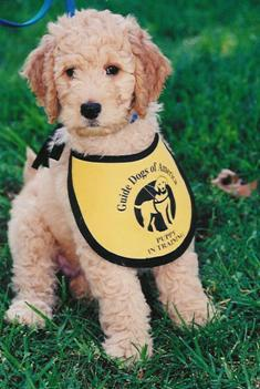 Goldendoodles make great guide dogs