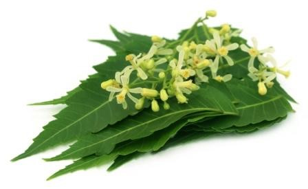 neem flowers and leaf