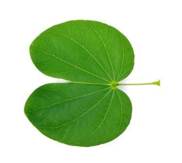 Bauhinia variegata leaf