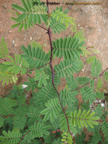 Khadira - Acacia catechu leaves