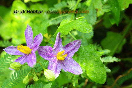 Brihati - Solanum indicum flower copy