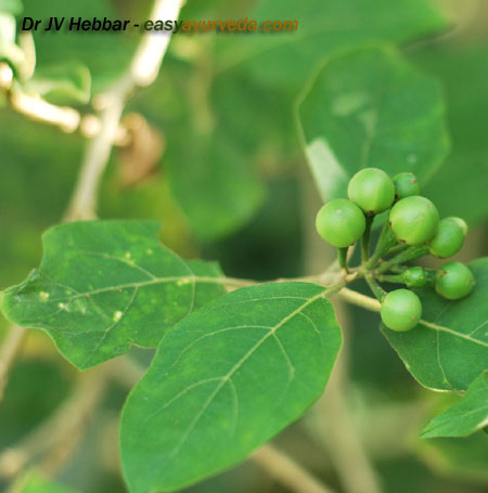 Brihati - Solanum indicum - leaves and fruit