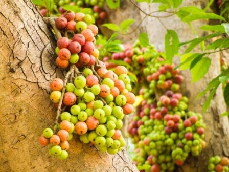 Ficus racemosa fruits