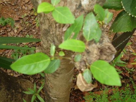 Ficus racemosa leaves