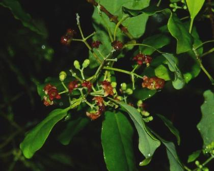 Sandalwood fruit and flowers