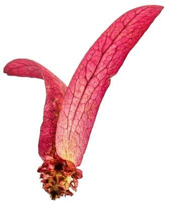 Dipterocarpus turbinatus isolate : The winged seed,