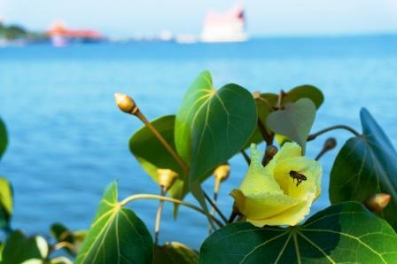 Flowers of Portia tree