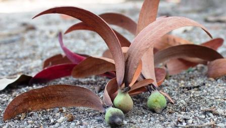dipterocarpus turbinatus Gaertn. f.