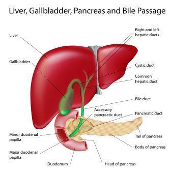 liver gall bladder pancreas