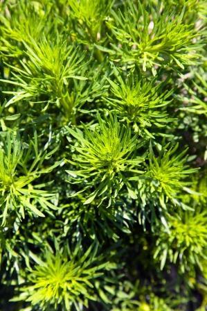 Peganum harmala plant