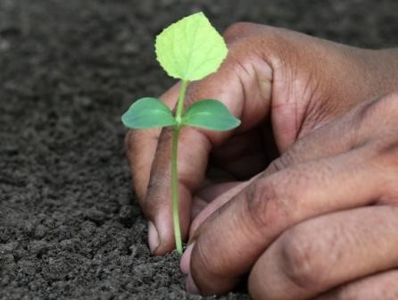 phalsa plant seedling