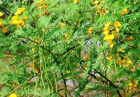 Sesbania sesban bush, dien dien yellow flower