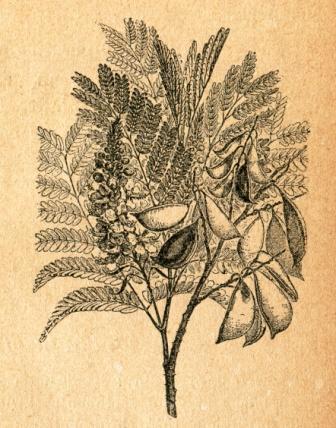 Patranga Caesalpinia sappan