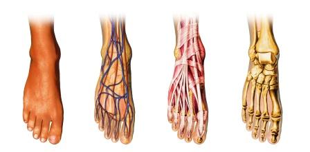 foot muscles, nerves, bones