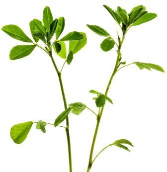 Fenugreek - methi plant