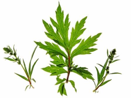 artemisia-vulgaris