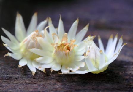 bakula flowers