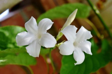 Chameli common jasmine