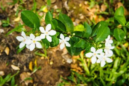 Juhi - Jasminum auriculatum