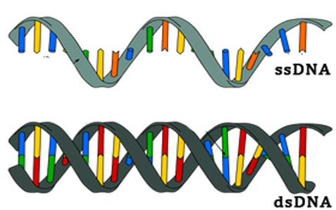 single stranded and double stranded DNA