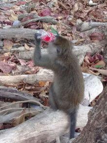 Addicted Monkey at Monkeys Beach