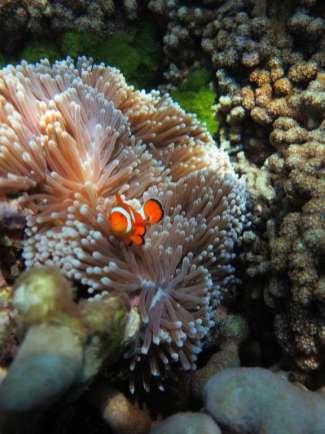 Nemo on the Anemone