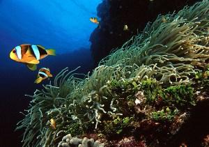 Clown Fish at Anemone Reef Phuket Thailand