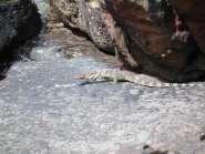 Eidechse in Phi Phi