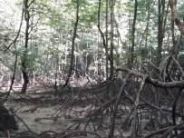 Koh Roi Island Mangroves