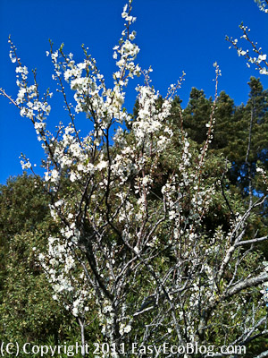 plum blossoms, spring, flowers on tree