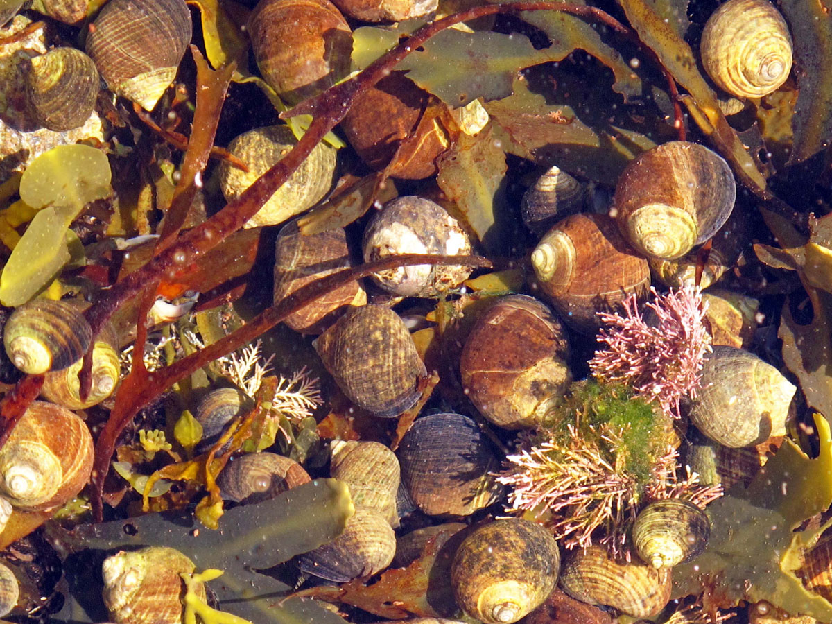 Periwinkles in a Rockpool