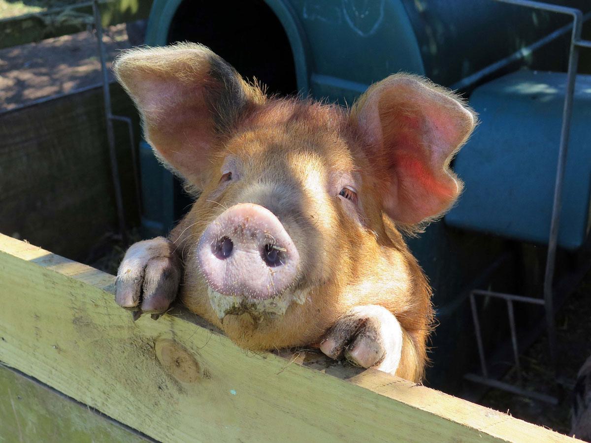 07-A-Nosey-Pig