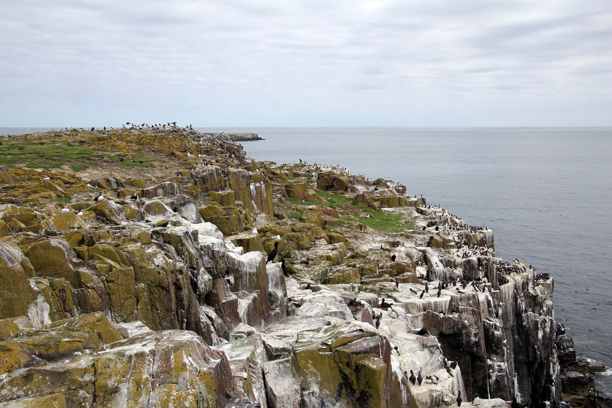 Birdlife on Inner Farne